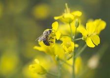 Pszczoła na kwiacie Zdjęcie Stock