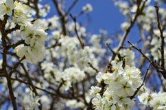 Pszczoła na kwiacie biali czereśniowi okwitnięcia Obraz Stock