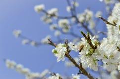 Pszczoła na kwiacie biali czereśniowi okwitnięcia Obrazy Royalty Free