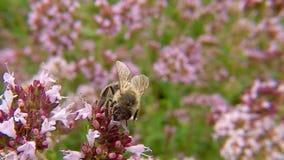 Pszczoła na kwiacie dziki Oregano zbiory