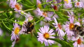 Pszczoła na kwiatach, makro- zdjęcie wideo