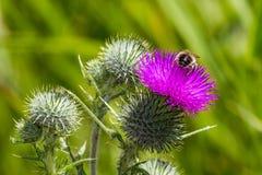 Pszczoła na kwiatonośnym osecie Obraz Royalty Free