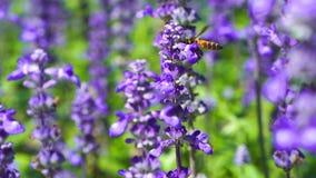 Pszczoła na Lawendowym kwiacie zbiory wideo
