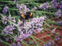 Pszczoła na lawendowym kwiacie fotografia royalty free