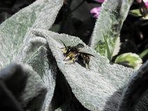 Pszczoła na lawendowym liściu zdjęcia royalty free