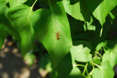 Pszczoła na liściu Fotografia Stock
