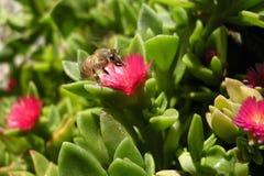 Pszczoła na lodowej roślinie Obrazy Royalty Free