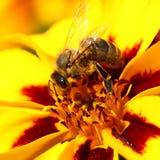 Pszczoła na nagietka kwiacie Zdjęcie Royalty Free