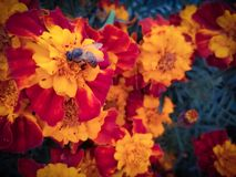 Pszczoła na nagietka kwiacie &-x28; Tegetes erecta&-x29; obraz royalty free