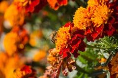 Pszczoła na nagietka kwiacie na zmierzchu obraz stock