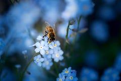 Pszczoła na niezapominajce fotografia royalty free