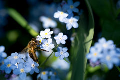 Pszczoła na niezapominajce fotografia stock