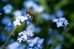 Pszczoła na niezapominajce zdjęcie stock