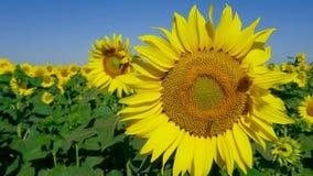 Pszczoła na pięknym słoneczniku Kultywacja rozmaitość dla jarzynowych olejów zbiory