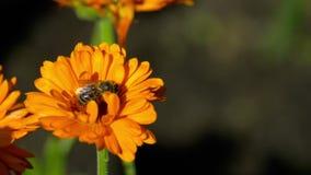 Pszczoła na pomarańczowym nagietku zbiory wideo