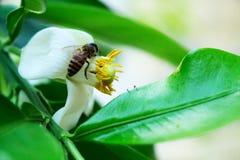 Pszczoła na pomelo fotografia royalty free