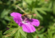 Pszczoła na purpura kwiacie fotografia stock
