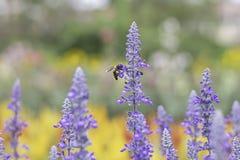 Pszczoła na purpura kwiatach lub Lavandula angustifolia w ogródzie fotografia royalty free