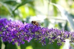 Pszczoła na Purpurowym Motylim Bush fotografia stock