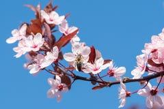 Pszczoła na różowi czereśniowi okwitnięcia cherry tła kwitnącego blisko Japan spring kwiecisty drzewo Obrazy Royalty Free