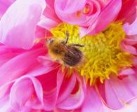 Pszczoła na różowym kwiacie Obrazy Royalty Free