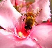 Pszczoła na różowym kwiacie obraz royalty free