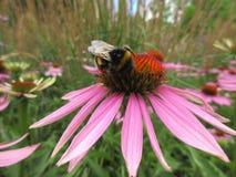 Pszczoła na różowym kwiacie Zdjęcie Royalty Free