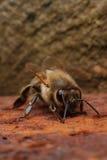 Pszczoła na rdzewiejącym żelazo talerzu obrazy royalty free