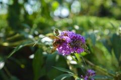 Pszczoła na roślinie Fotografia Royalty Free