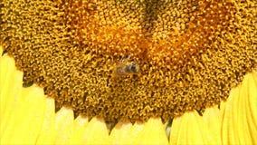 Pszczoła na słonecznika zakończeniu up zdjęcie wideo