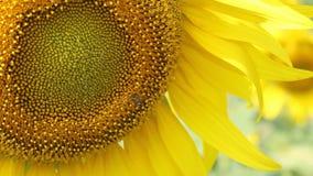 Pszczoła na Słonecznikowej roślinie zdjęcie wideo