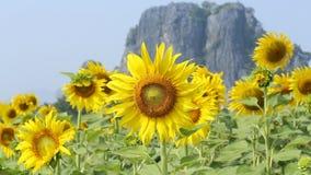 Pszczoła na Słonecznikowej roślinie zbiory