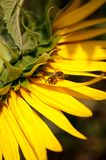 Pszczoła na słoneczniku Zdjęcia Royalty Free