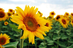 Pszczoła na słoneczniku Obrazy Royalty Free