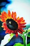Pszczoła na słoneczniku Obraz Royalty Free