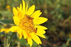 pszczoła na słoneczniku obrazy stock