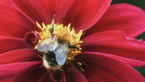 Pszczoła na stamen kwiat