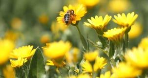 Pszczoła na stokrotka kwiacie zdjęcie wideo