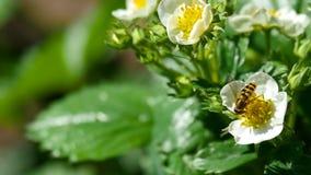 Pszczoła na truskawkowych kwiatach zbiory wideo