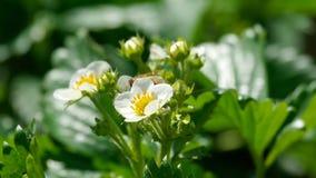 Pszczoła na truskawkowych kwiatach zbiory