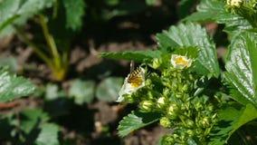 Pszczoła na truskawkowych kwiatach zdjęcie wideo