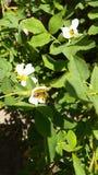 Pszczoła na wildrose obrazy stock