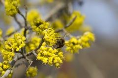 Pszczoła na wiosny okwitnięcia dereniu Obraz Royalty Free