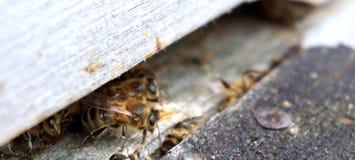 Pszczoła nadchodząca po zimy out Obraz Royalty Free