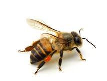 Pszczoła odizolowywająca na białym tle Obrazy Royalty Free