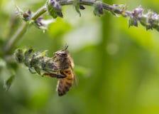 Pszczoła odpoczynek na dzikim kwiacie obrazy royalty free