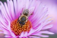 pszczoła piękny kwiat Obraz Royalty Free