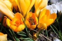 Pszczoła pracuje dalej na żółtym krokusie w ogródzie fotografia stock
