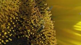 Pszczoła pracuje na słoneczniku w zwolnionym tempie zdjęcie wideo