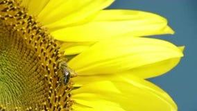 Pszczoła pracuje na słoneczniku w zwolnionym tempie zbiory wideo